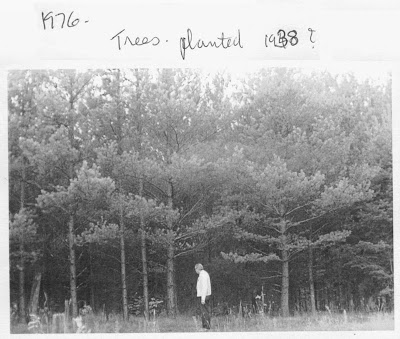 Trees Planted circa 1938. Photo taken in 1976.